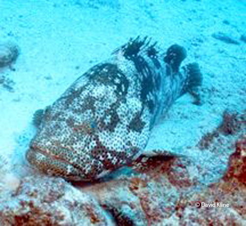 Big-Grouper