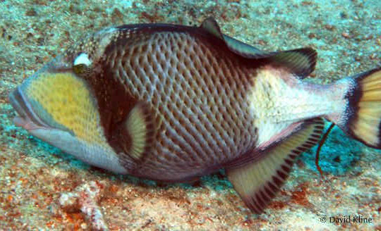 Titan-Triggerfish-or-Moustache-Fish-540×328