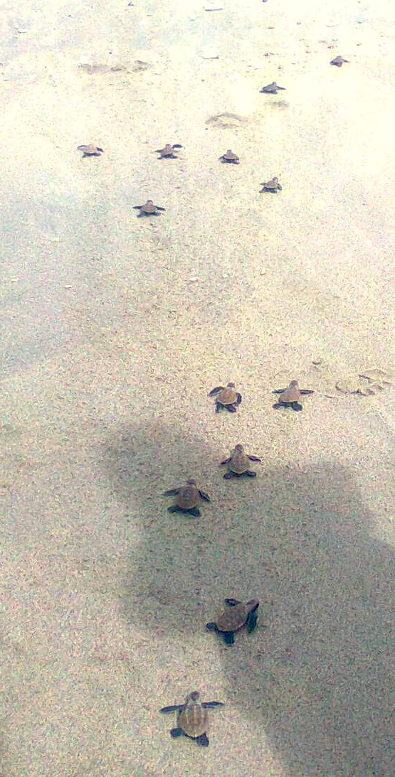 baby_turtles_journey_home
