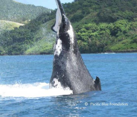 Acrobatic-Humpback-Whale1-540×461