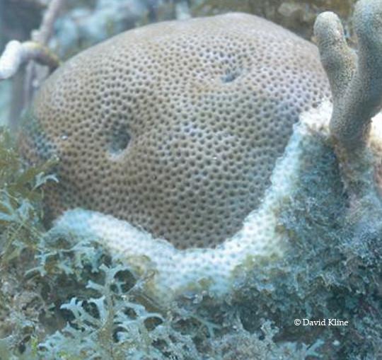 Massive-coral-540×509