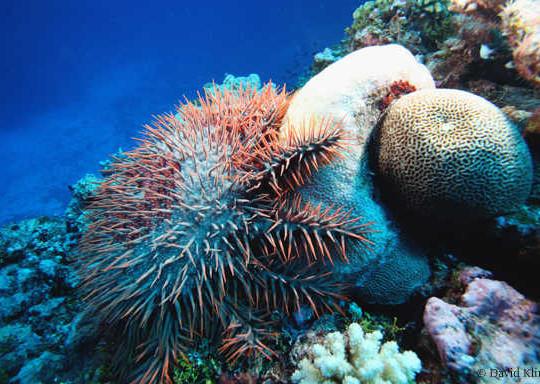 crown-of-thorns-starfish-in-australia-540×384