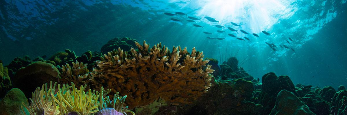 adopt a coral baner